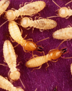 termiteSmall-236x300