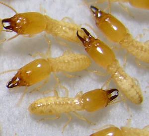 subterranean-termite-300x274
