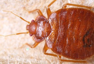 Do You need a Bed Bug Exterminator?