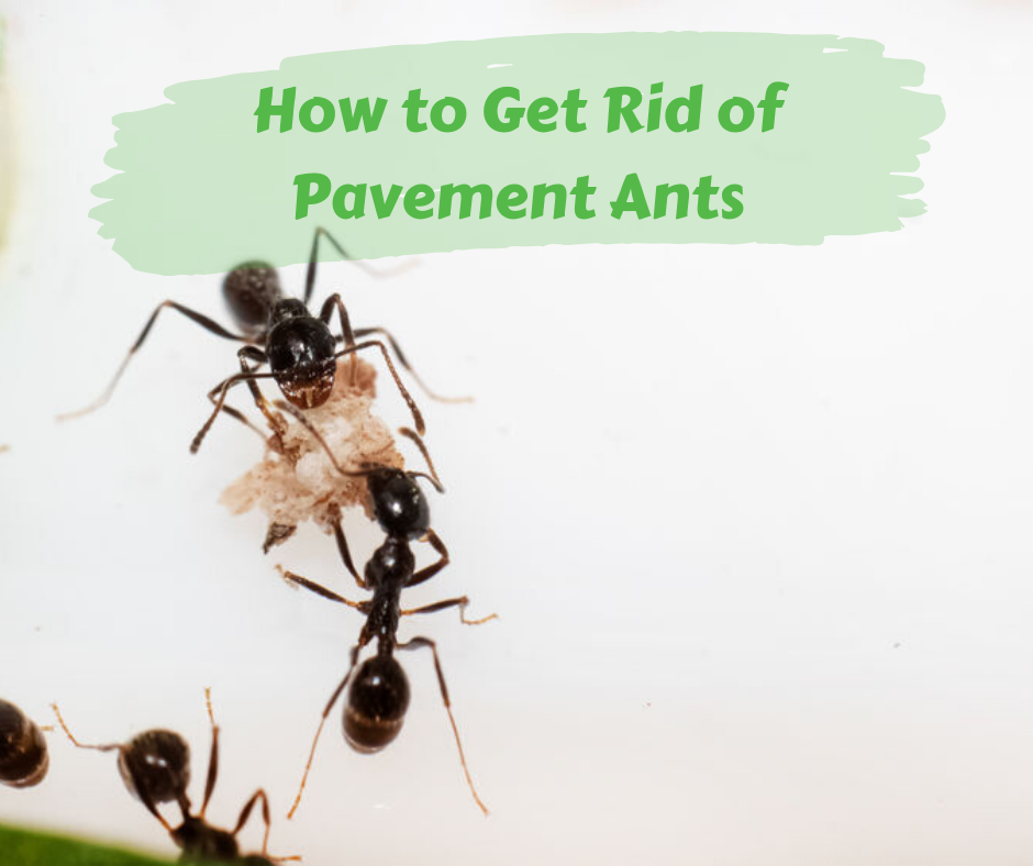 How to Get Rid of Pavement Ants